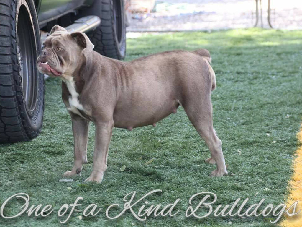 Olde English Bulldogge Bunny