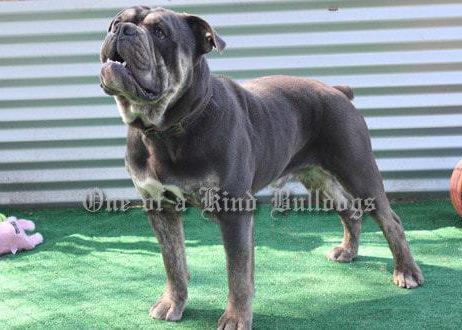 Olde English Bulldogge Django