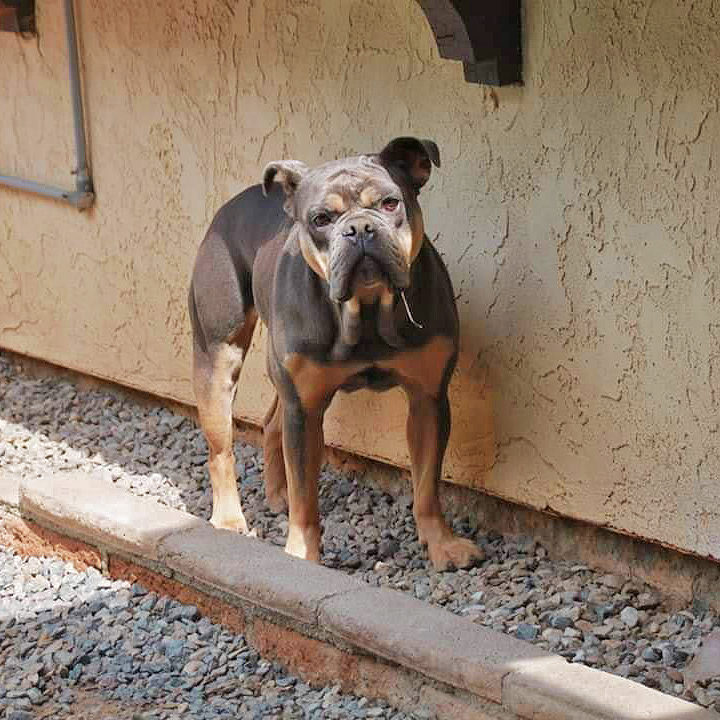olde-english-bulldog-rescue-lila-10