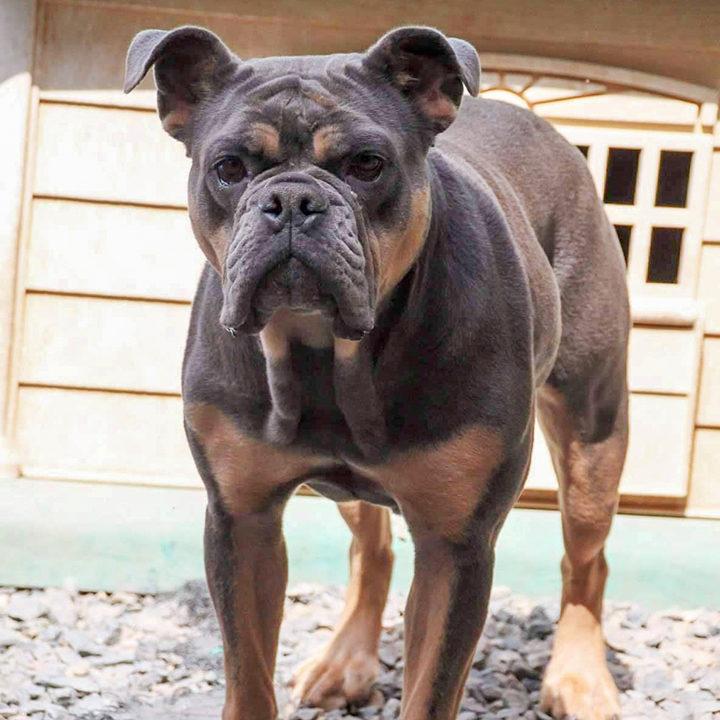 olde-english-bulldog-rescue-lila-9