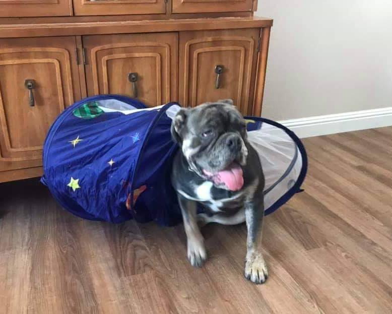 bogie-olde-english-bulldogge-rescue-1